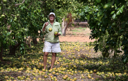 TWA-0000614 © WestPix Carnarvon cleans up after Cyclone Olwyn. Bentwaters plantation owner Joanne Symonds surveys the damage to her Rio Ruby Red grapefruit that were just two months from harvest. Expected to have lost $80,000 of crop.