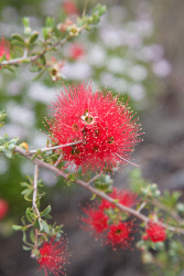 TWA-0055952 © WestPix A splash of red in Baladjie Lake Nature Reserve. Picture: Stephen Scourfield The West Australian