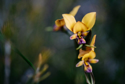 TWA-0073399 © WestPix Donkey Orchids. Wildflowers: Donkey Orchids at the Western Flora Caravan Park. Picture: Michael Wilson, The West Australian.