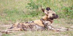 TWA-0077052 © WestPix A painted dog in South Luangwa National Park, Zambia. Picture: Stephen Scourfield The West Australian