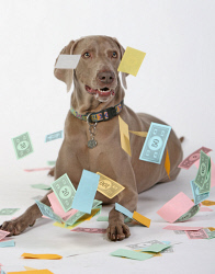 TWA-0080453 © WestPix The cost of pet insurance is on the increase. The premium for Otto the Weimaraner has recently doubled. Picture: Megan Powell The West Australian.
