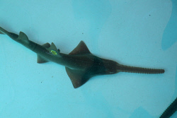 TWA-0080890 © WestPix A captured sawfish held at North Regional TAFE's aquaculture centre, fitted with accelerometer.
