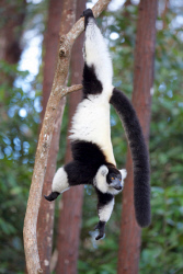 TWA-0081393 © WestPix Black and white ruffed lemur. Lemur Island, Andasibe, Madagascar. Picture: Stephen Scourfield The West Australian