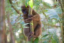 TWA-0081443 © WestPix One of only two individual Greater Bamboo Lemurs left in Ranomafana National Park, Madagascar. Picture: Stephen Scourfield The West Australian
