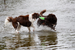 TWA-0083454 © WestPix A dog's delight at flooded Abbett Park in Scarborough. Coco and Chill, owned by Manni and Laura Ruggieri, chase a frisbee. Picture: Trevor Collens The West Australian