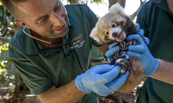 TWA-0084139 © WestPix Perth Zoo's baby Red Panda gets his first health check from Zoo Vet Dr Peter Ricci with help from keeper Marty Boland.  Picture: Steve Ferrier The West Australian.