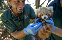 TWA-0084431 © WestPix Perth Zoo's baby Red Panda gets his first health check from Zoo Vet Dr Peter Ricci with help from keeper Marty Boland.  Picture: Steve Ferrier The West Australian.