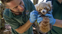 TWA-0084433 © WestPix Perth Zoo's baby Red Panda gets his first health check from Zoo Vet Dr Peter Ricci with help from keeper Marty Boland.  Picture: Steve Ferrier The West Australian.
