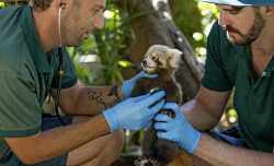 TWA-0084434 © WestPix Perth Zoo's baby Red Panda gets his first health check from Zoo Vet Dr Peter Ricci with help from keeper Marty Boland.  Picture: Steve Ferrier The West Australian.