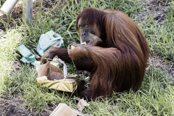 TWA-0084449 © WestPix Zoo Birthdays: 62 year old Orangutan Puan opens some presents full of fruit. Photo by Michael Wilson, The West Australian.