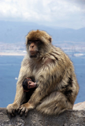 TWA-0084456 © WestPix Barbary macaques on The Rock of Gibraltar. Picture: Steve McKenna