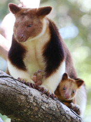 TWA-0085066 © WestPix Perth Zoo's latest family member, Haroli, a Goodfellow's Tree Kangaroo joey. Born to mother, Doba and father Huli, the youngster is only the 16th male tree kangaroo to be born into the global zoo breeding program. Picture: Daniel Wilkins
