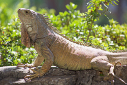 TWA-0085588 © WestPix Iguanas are synonymous with Ecuador. Picture: Stephen Scourfield The West Australian