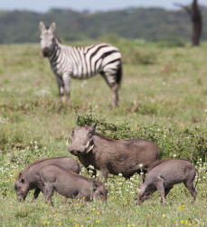 TWA-0093164 © WestPix Warthog family with Burchell's zebra. In the southern part of Serengeti National Park, Tanzania. Near Sanctuary Kichakani Serengeti Camp. Picture: Stephen Scourfield The West Australian