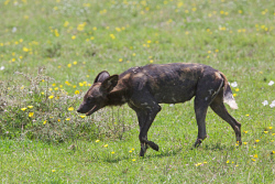TWA-0093167 © WestPix Wild dog, very rare. In the southern part of Serengeti National Park, Tanzania.  Picture: Stephen Scourfield The West Australian