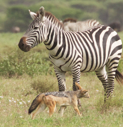 TWA-0093168 © WestPix Burchell's zebra with a jackal in the southern part of Serengeti National Park, Tanzania.  Picture: Stephen Scourfield The West Australian