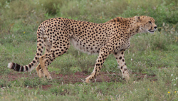 TWA-0093169 © WestPix A cheetah in the Serengeti National Park. Picture: Stephen Scourfield The West Australian