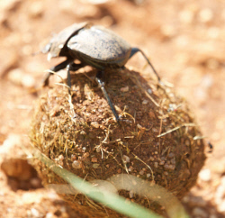 TWA-0093200 © WestPix Dung beetle with a ball of dung. Tarangire National Park, Tanzania.  Picture: Stephen Scourfield The West Australian