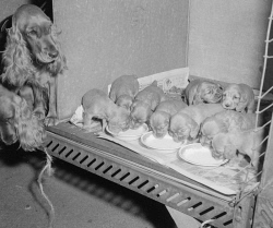 WAN-0015554 © WestPix GOLDEN COCKER SPANIEL 'YUNBEAI DAYDREAM' WITH HER LITTER OF NINE PUPPIES AT THE PERTH ROYAL SHOW