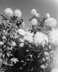 WAN-0020773 © WestPix R.M. BROCKLEHURST WITH GIANT DAHLIAS.