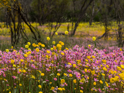 WAN-0027469 © WestPix Wildflowers in full bloom at Coalseam Conservation Park near Mingenew and Mullewa. Pic Mogens Johansen, The West Australian