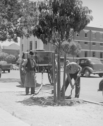 WAN-0031728 © WestPix EXACT DATE UNKNOWN (IMAGE TAKEN IN 1938) TWO MEN PICTURED WATERING BOX TREES PLANTED IN ST GEORGES TERRACE IN 1938.