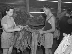 WAN-0031738 © WestPix WA TOBACCO INDUSTRY, 1948, IN THE MANJIMUP DISTRICT.