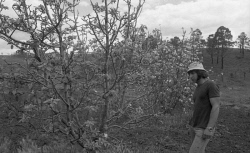 WAN-0031860 © WestPix NEG FILE WH 4118 B - Aftermath of Cyclone Alby. Domonic Piscaneri of Beelerup looks at the patching blossom in their apple orchard. 23 October 1978. Picture: Ian Ferguson  The West Australian